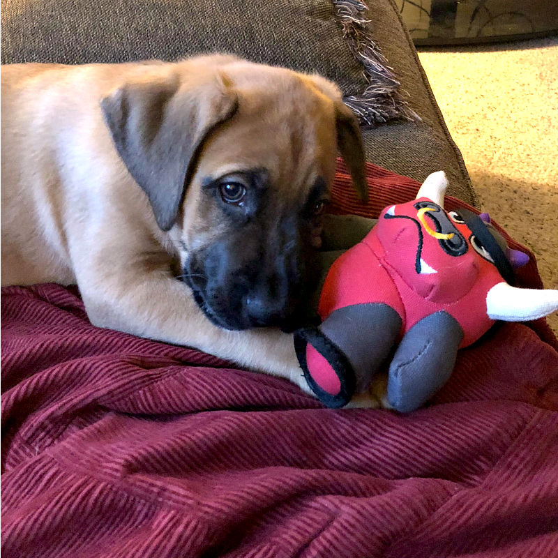 Boxer shepherd puppy laying on a brown couch with a red blanket and red bull dog toy.