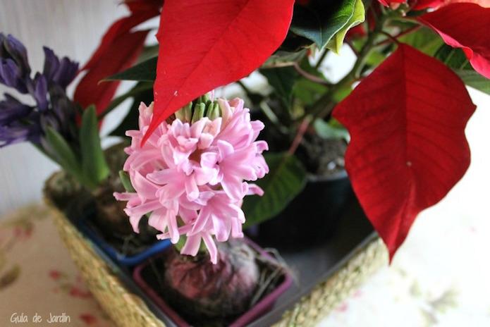 jacientos y planta de navidad