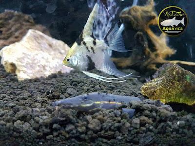 6 Ikan Predator Air Tawar Tipe Bawah Yang Populer