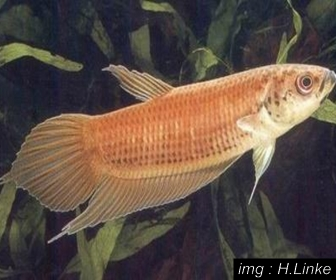 Jenis Ikan Cupang Spesies Betta Spilotogena