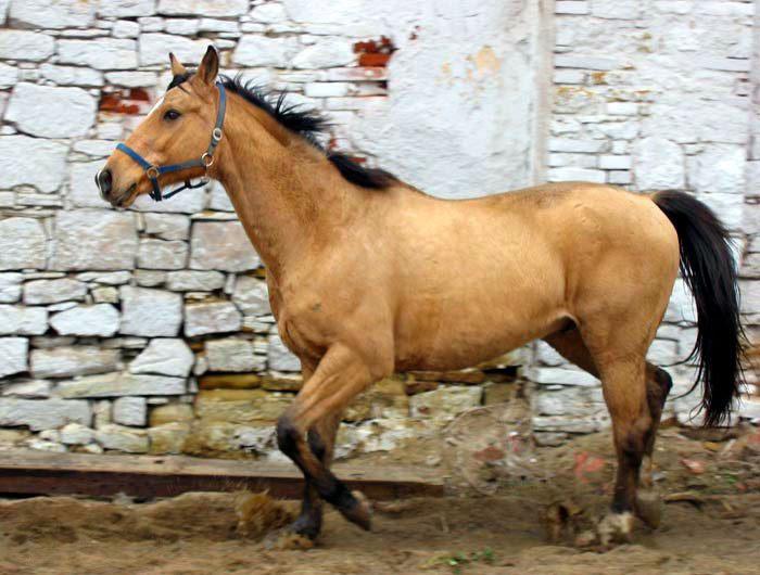 Pur plus pferde