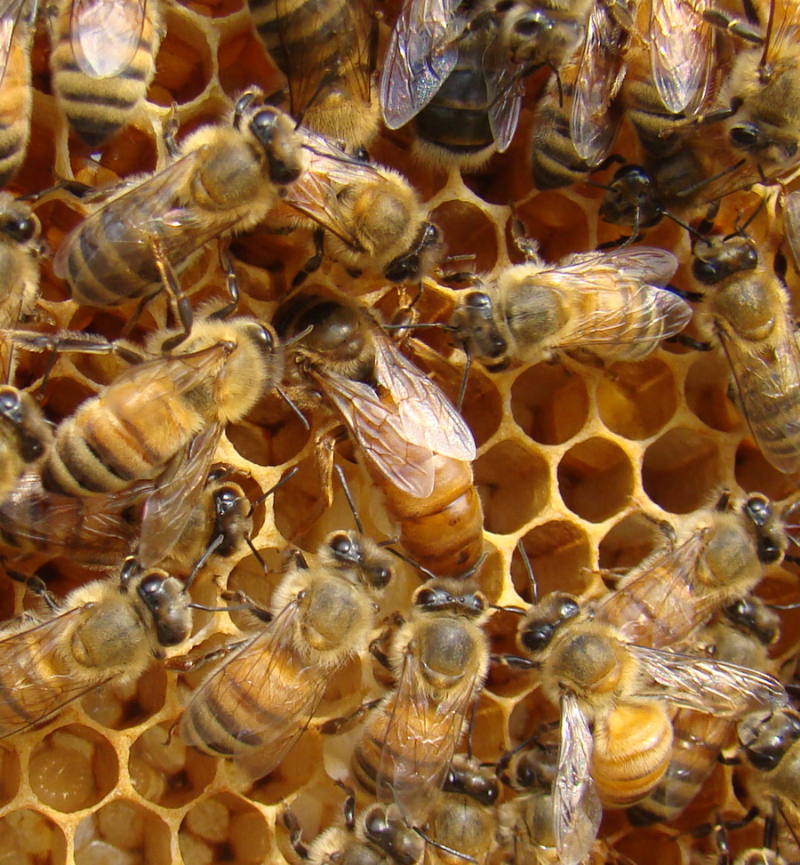 queen bee - photo #7