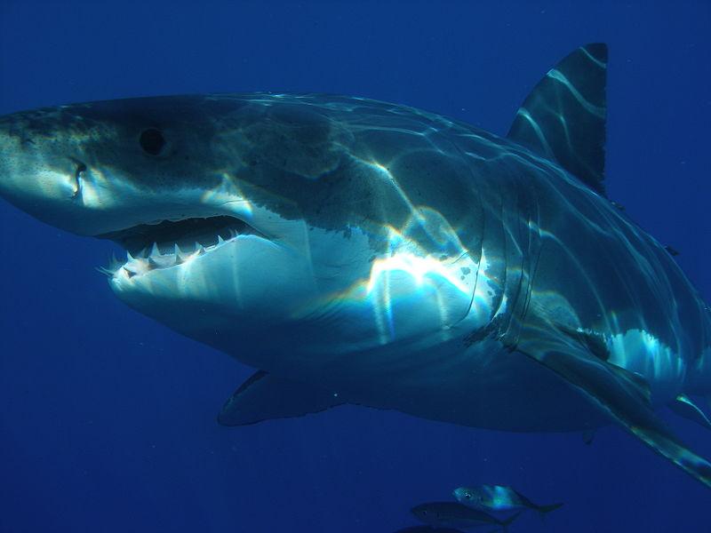 Tubarão Branco | Características Gerais do Tubarão Branco (Carcharodon carcharias)