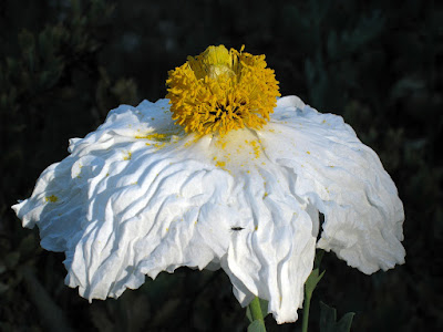 Romneya coulteri: photo by Cliff Hutson