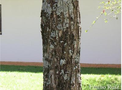 Cordia alliodora tronco