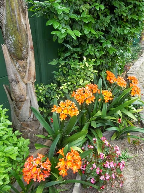 Clivia miniata growing in my garden in Cape Town, South Africa