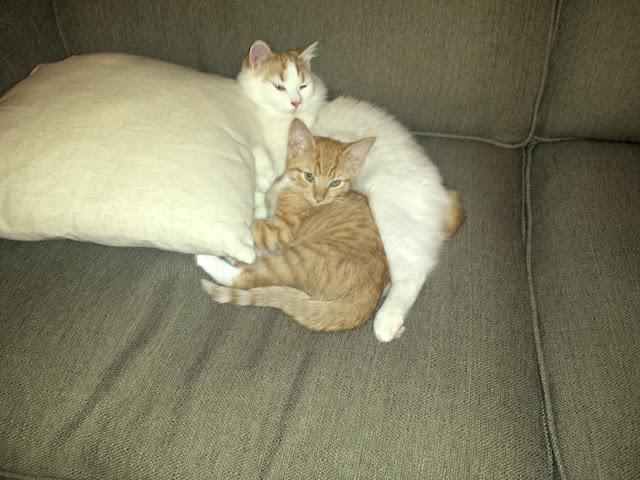 kitten, cat