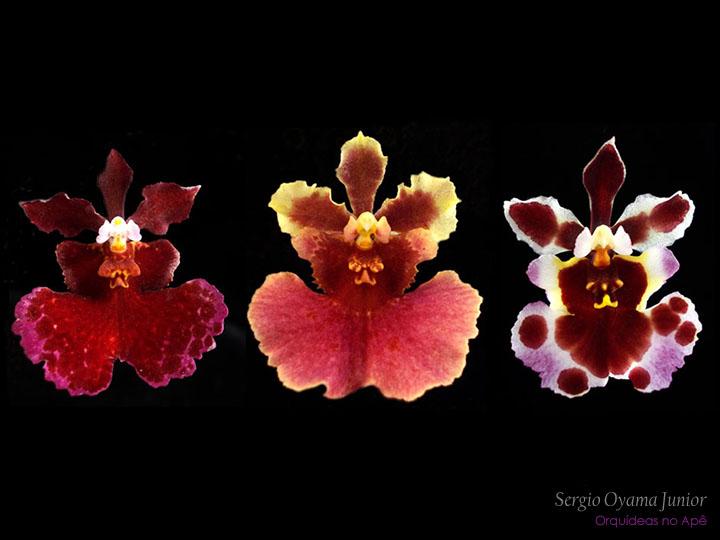 Micro-orquídea Tolumnia