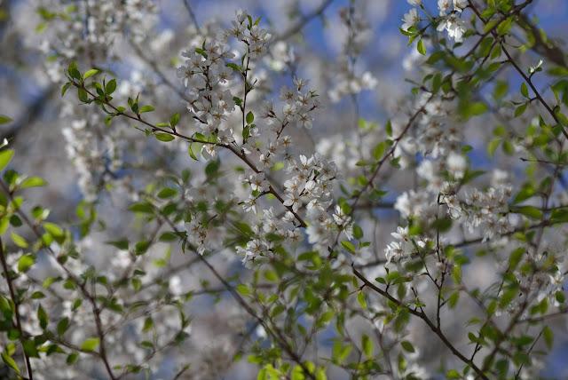 commercial ektar 8.5inch 桜