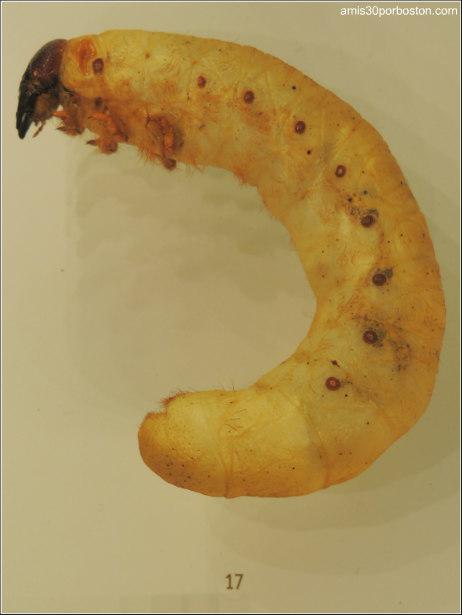 Larva de Escarabajo en el Insectarium de Montreal