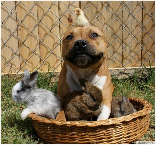 Boom Anjing Pitbull Yang Mesra Dengan Arnab Dan Ayam Toneexcelduit