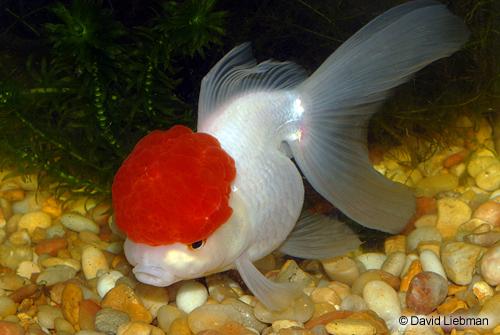 Jenis- jenis Ikan Mas Koki dan Keunikannya | Akuarium Mas Koki