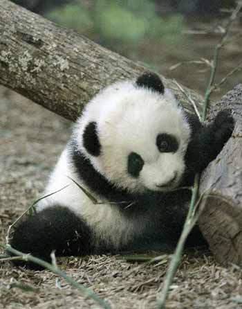 Very Cute Baby Panda Desktop Wallpapers Wallpapers Photosz