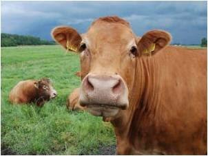 Semua potensi sapi diolah untuk meningkatkan nilai ekonomi, Kulit, diubuat menjadi rambak, Jerohan, khususnya paru, diolah menjadi keripik. Daging kelas 2, dibuat menjadi bakso dan sosis. Daging kelas 1, dibuat menjadi abon.