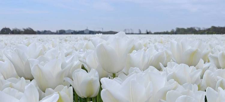 Tulip 'Darwisnow'