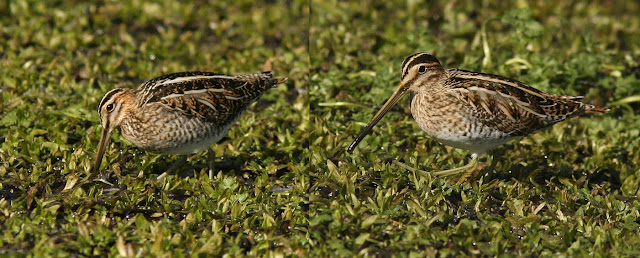 Comparison of Wilson's and Common Snipe in Newfoundland