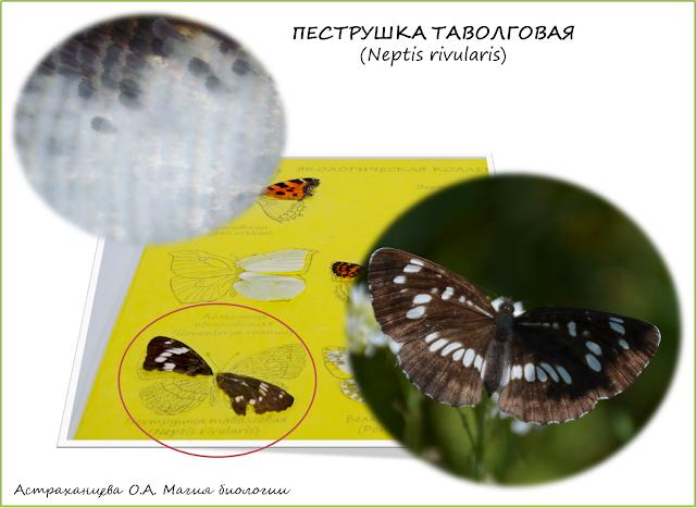 бабочка-таволговая-пеструшка-крыло-под-микроскопом-коллекция