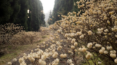 Edgeworthia chrysantha en el bosque (encantado) y en el jardín de invierno