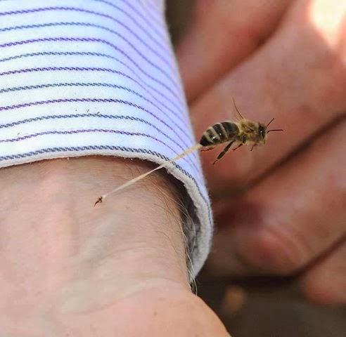 فوائد لسعه النحل وسبب موت النحله بعد القرصة .. مدهش !