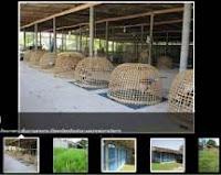 ayam bangkok mormekfarm thailand