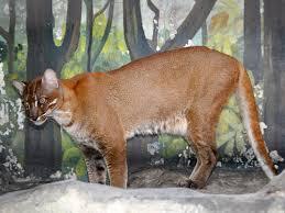 Kucing Hutan Kalimantan Selatan Majalah Cat Dog