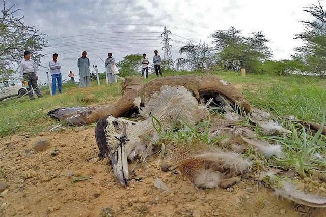 urubu morto Impacto Ambiental