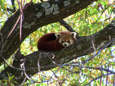 Reviewing the Red Panda - Endangered Species