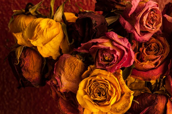 Multicolored Roses Wilting