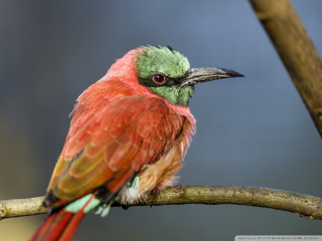 a perched bee eater wallpaper
