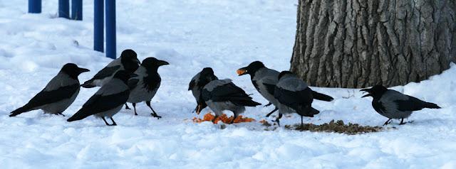 Фото Виталия Бабенко: серые вороны