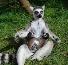 Ao contrário do resto dos primatas, os lêmures vivem numa sociedade matriarcal.