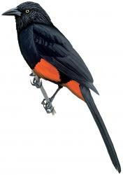 Red bellied Grackle
