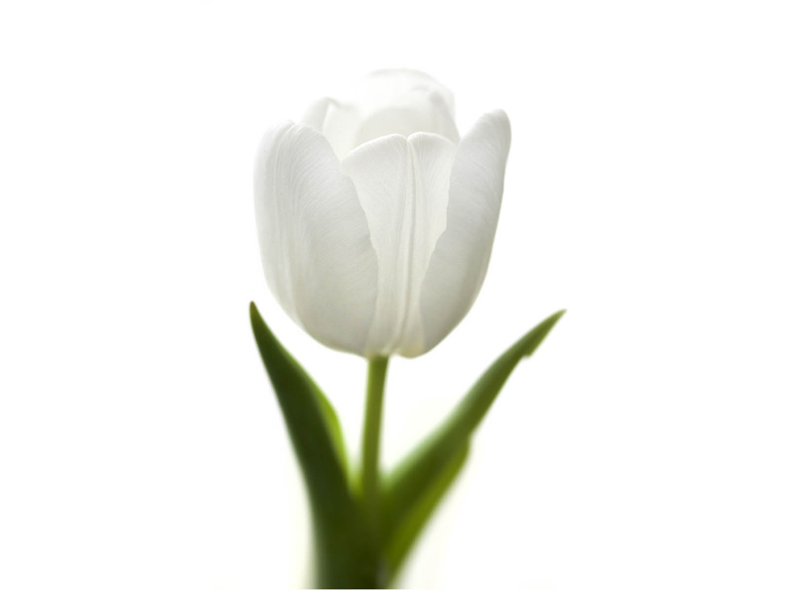 HD Wallpapers White Tulip Flowers