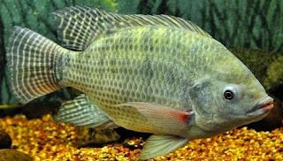 Umpan Ikan Mas Babon Yang Sangat Jitu Dan Ampuh jitu, ampuh, terbaru