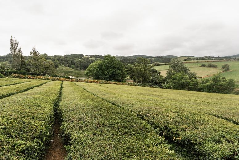 Plantacja herbaty Cha Gorreana Sao Miguel