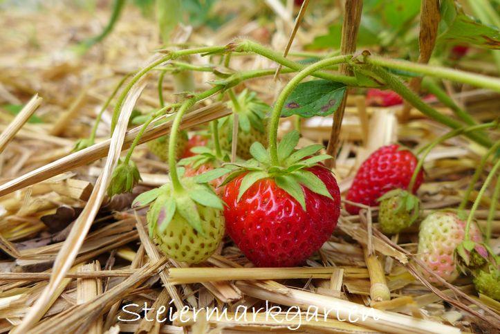 Erdbeeren-Steiermarkgarten