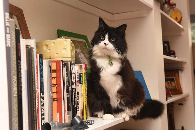 Cats, cat on bookshelf, three legged cat