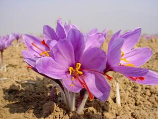 Nhụy hoa nghệ tây loại I