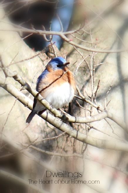 bluebird perching
