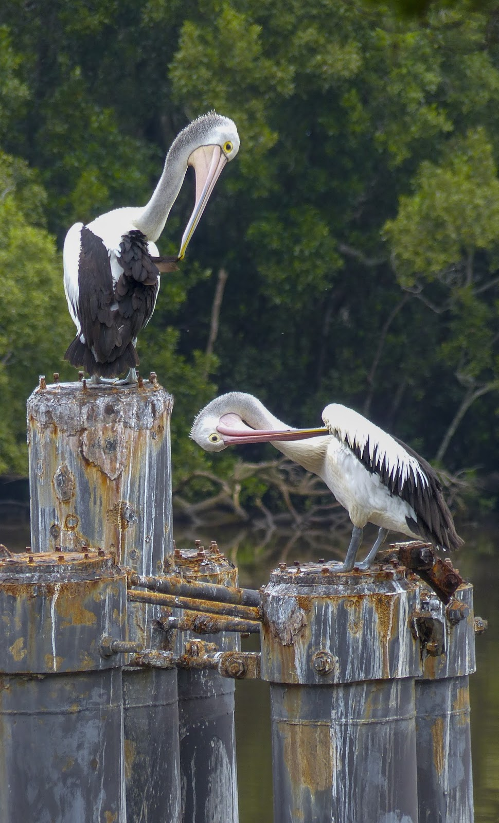 Picture of two Australian pelicans.
