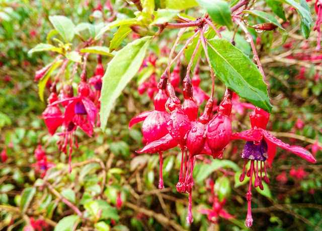 red fuschia flowers