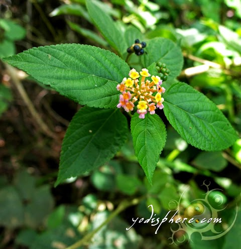 hover_share beautiful wild flower blooming along the trail going up Mt. Pico de Loro