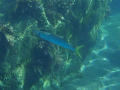 Barrakuda beim Tauchen im Atlantik