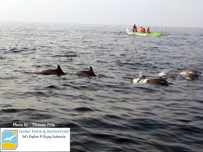 lumba-lumba teluk kiluan-menyambut-ramah