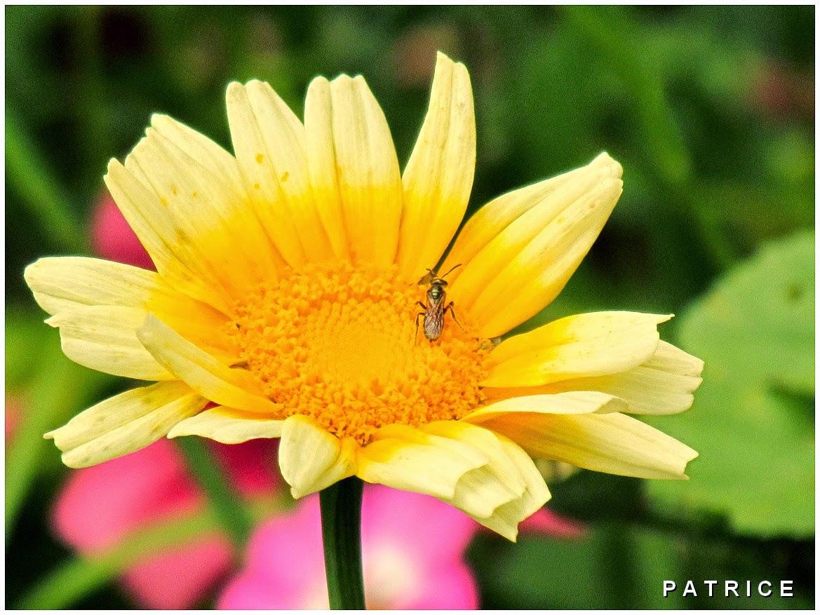 Blog Photos de Patrice: Insectes et fleurs en Juillet.