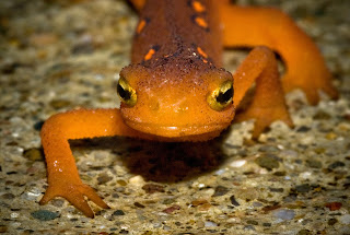 photo of a newt