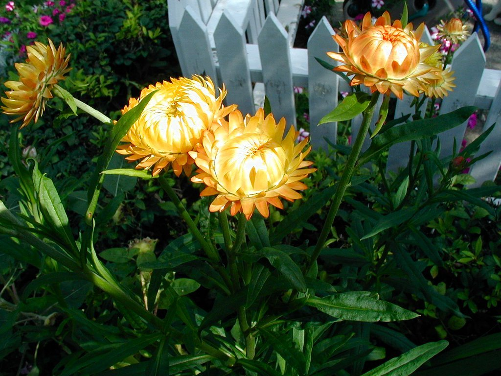 Strawflower | Good Witches Magickal Flowers And Herbs