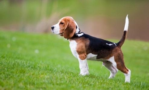 Beagle Köpeği Hakkında Bilgi