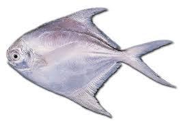Umpan ikan bawal, manfaat ikan bawal, resep ikan bawal, budidaya ikan bawal.