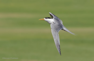 Sandwich Tern in Flight : Extreme Cropping / Colour Correction